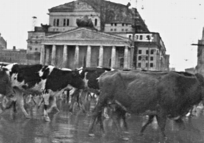 Сорок первый скот