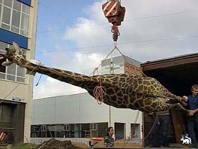 Жираф разбил голову 2