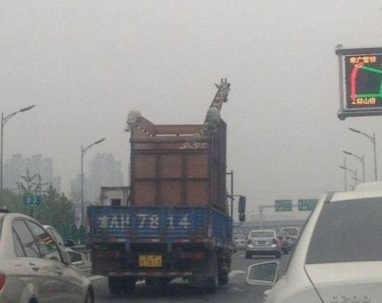 Жираф разбил голову о мост
