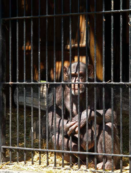 Chimpanzee_in_zoo_AB