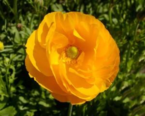 Цветы похожие на розы Ranunculus Asiaticus лютик азиатский 1