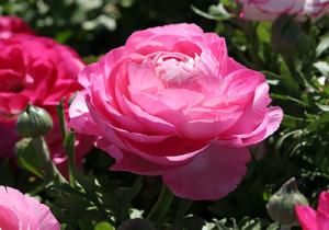 Цветы похожие на розы Ranunculus Asiaticus лютик азиатский 2
