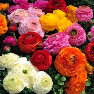Цветы похожие на розы Ranunculus Asiaticus лютик азиатский 4