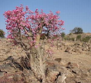 Цветы похожие на розы adenium 1