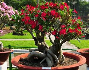Цветы похожие на розы adenium 2