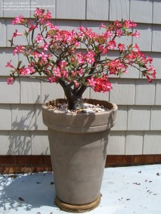 Цветы похожие на розы adenium 3
