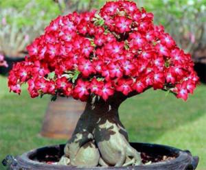 Цветы похожие на розы adenium 4