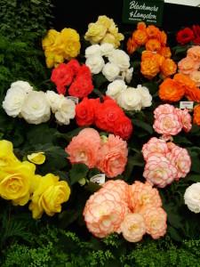 Цветы похожие на розы begonia 1