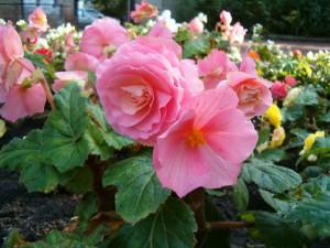 Цветы похожие на розы begonia 2