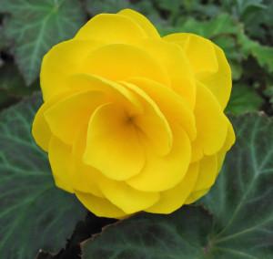 Цветы похожие на розы begonia 4