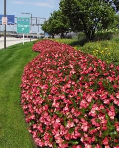 Цветы похожие на розы begonia 5