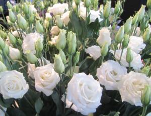 Цветы похожие на розы эустома 5