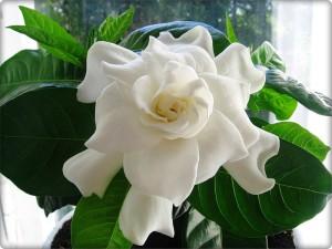 Цветы похожие на розы gardenia 1