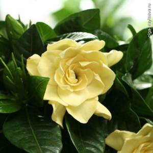 Цветы похожие на розы gardenia 2