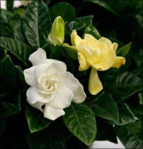 Цветы похожие на розы gardenia 3