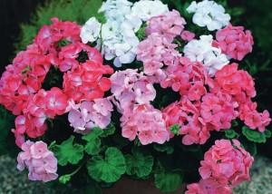 Цветы похожие на розы герань 1