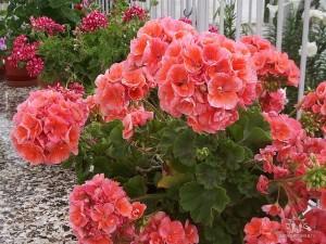 Цветы похожие на розы герань 3