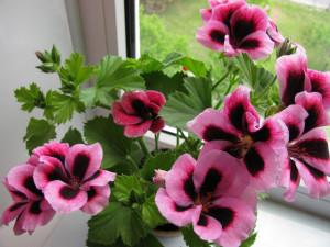 Цветы похожие на розы герань 4