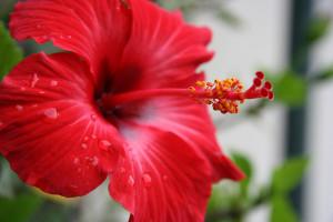 Цветы похожие на розы hibiscus 1