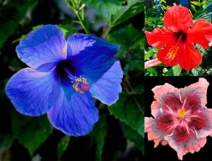 Цветы похожие на розы hibiscus 5