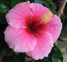 Цветы похожие на розы hibiscus 7