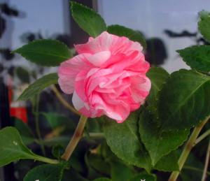 Цветы похожие на розы махровый бальзамин 1
