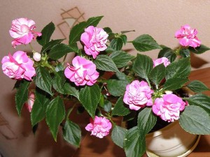 Цветы похожие на розы махровый бальзамин 3
