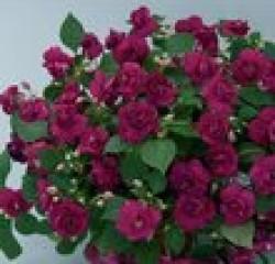 Цветы похожие на розы махровый бальзамин 5