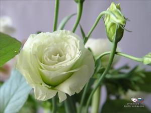 Цветы похожие на розы но не розы 3
