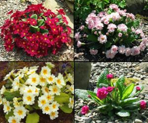 Цветы похожие на розы primula 1