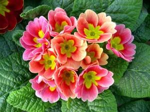 Цветы похожие на розы primula 3