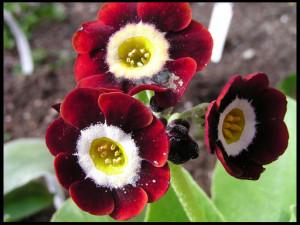 Цветы похожие на розы primula 4
